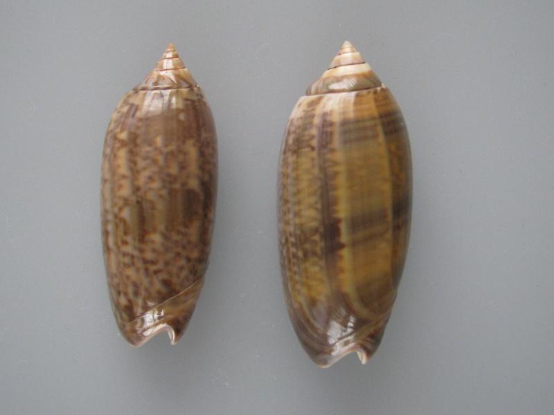 Miniaceoliva concinna f. kremerorum (Petuch & Sargent, 1986) accepted as Miniaceoliva concinna (Marrat, 1870) Img_1010