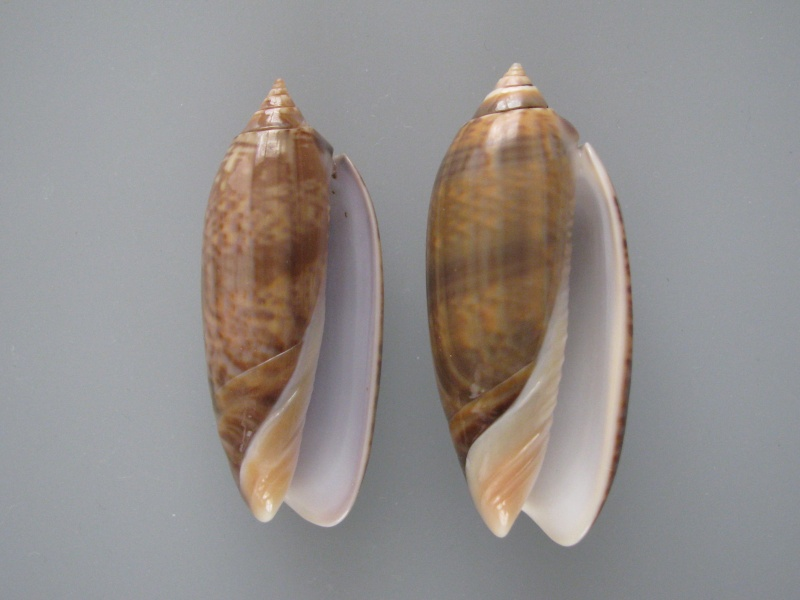 Miniaceoliva concinna f. kremerorum (Petuch & Sargent, 1986) accepted as Miniaceoliva concinna (Marrat, 1870) Img_1011
