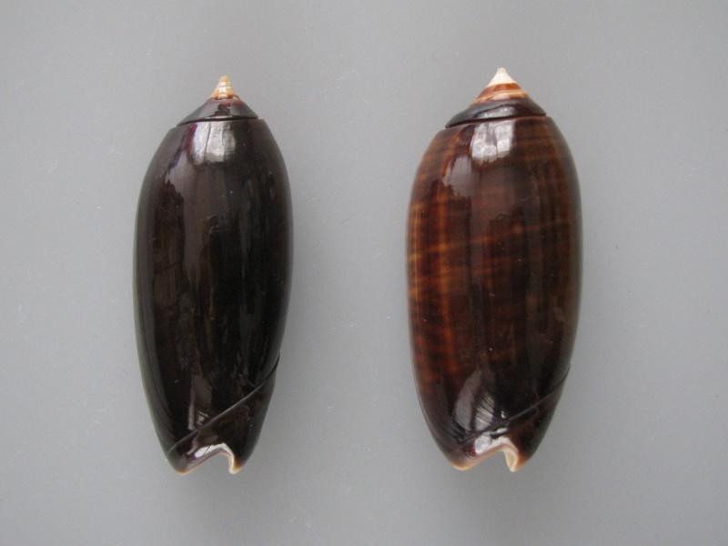 Miniaceoliva concinna f. kremerorum (Petuch & Sargent, 1986) accepted as Miniaceoliva concinna (Marrat, 1870) Img_1012