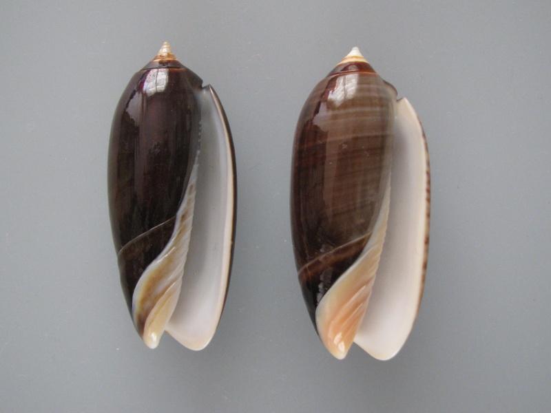 Miniaceoliva concinna f. kremerorum (Petuch & Sargent, 1986) accepted as Miniaceoliva concinna (Marrat, 1870) Img_1013