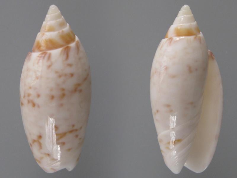 Americoliva fulgurator fulgurator (Röding, 1798) Img_8413