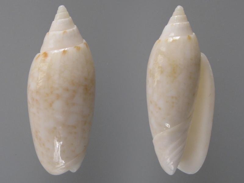 Americoliva fulgurator fulgurator (Röding, 1798) Img_8414