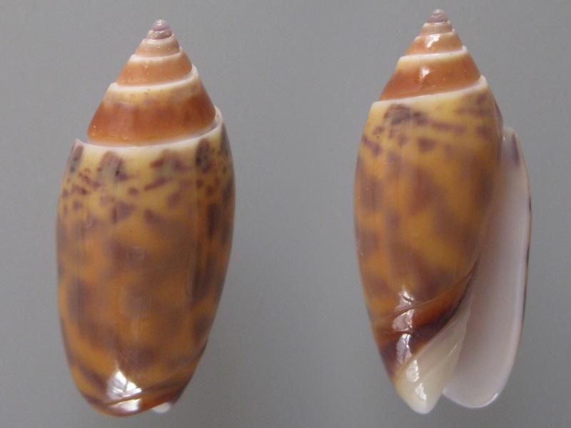 Annulatoliva buelowi phuketensis (Tursch, Germain & Greifeneder, 1986) Img_8510