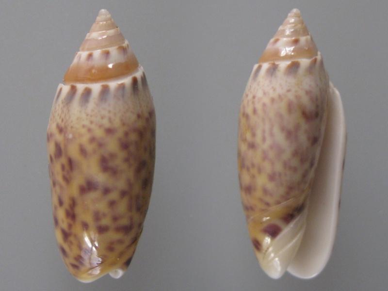 Annulatoliva buelowi phuketensis (Tursch, Germain & Greifeneder, 1986) Img_8511