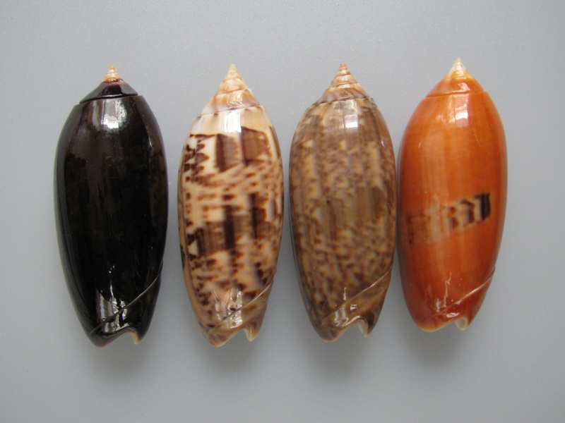 Miniaceoliva concinna f. kremerorum (Petuch & Sargent, 1986) accepted as Miniaceoliva concinna (Marrat, 1870) Img_9711