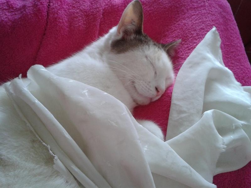 Hannabelle femelle blanche et beige née le 01/09/2012 210