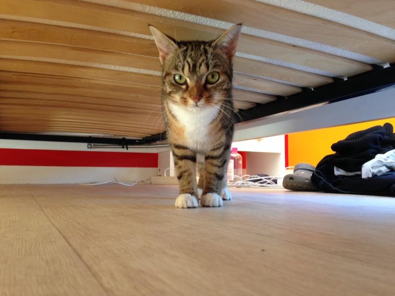 Junon, chatonne européenne tigrée et blanche, née le 19/06/14 Img_4910