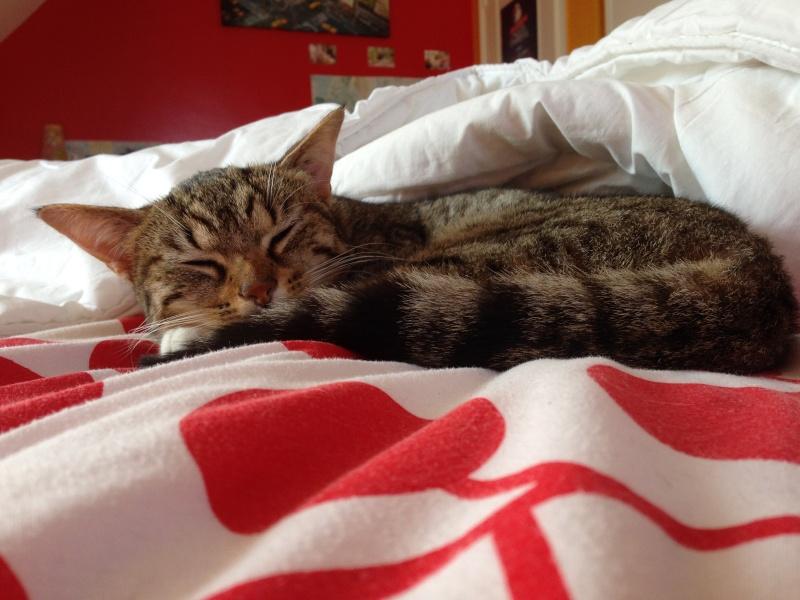 Junon, chatonne européenne tigrée et blanche, née le 19/06/14 Img_5011