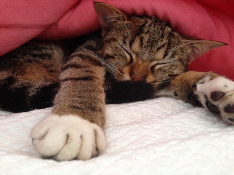 Junon, chatonne européenne tigrée et blanche, née le 19/06/14 Img_5210