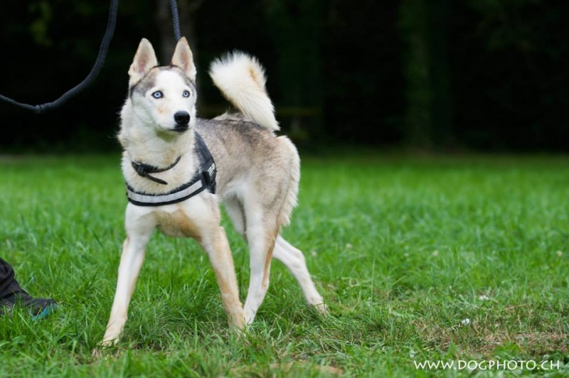 Funky, Husky 5 ans ASSO39 ADOPTER 11866312