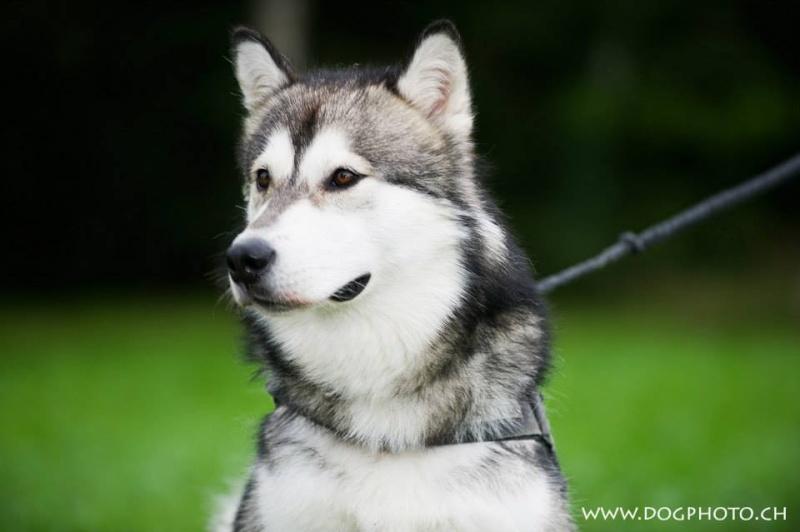 Jack, mâle Husky/Malamute 1 an Asso39 ADOPTé 11888011
