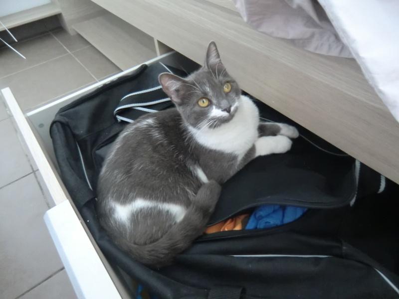 Perdu chatte grise et blanche à Tournefeuille Cimg1910
