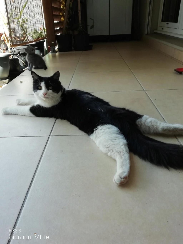 CHAPLIN loulou noir et blanc, poils mi-longs -  1 an et demi - marrainé par Harfeng et Ana Chapli12