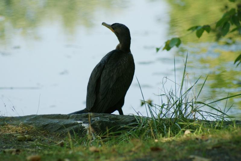 Cormoran au Lac du Village Longue11