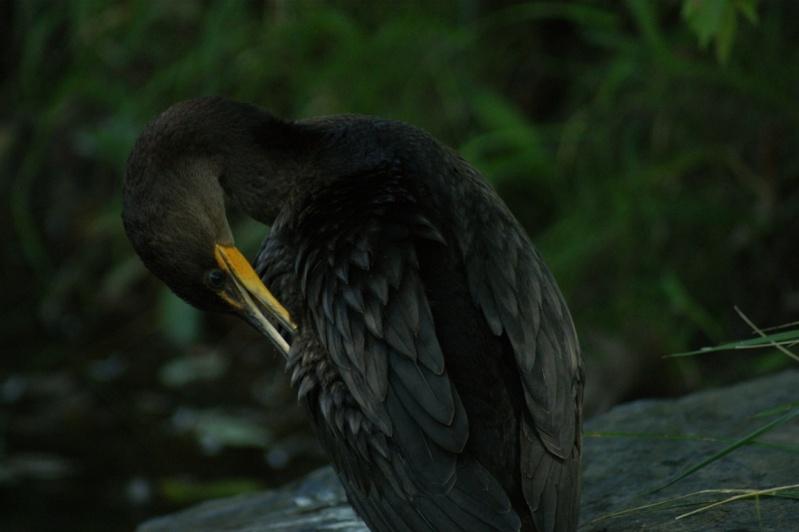 Cormoran au Lac du Village Longue13