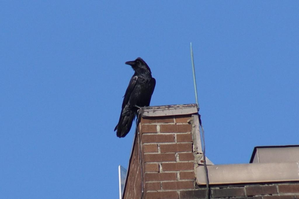 Un Grand Corbeau.. Longue81