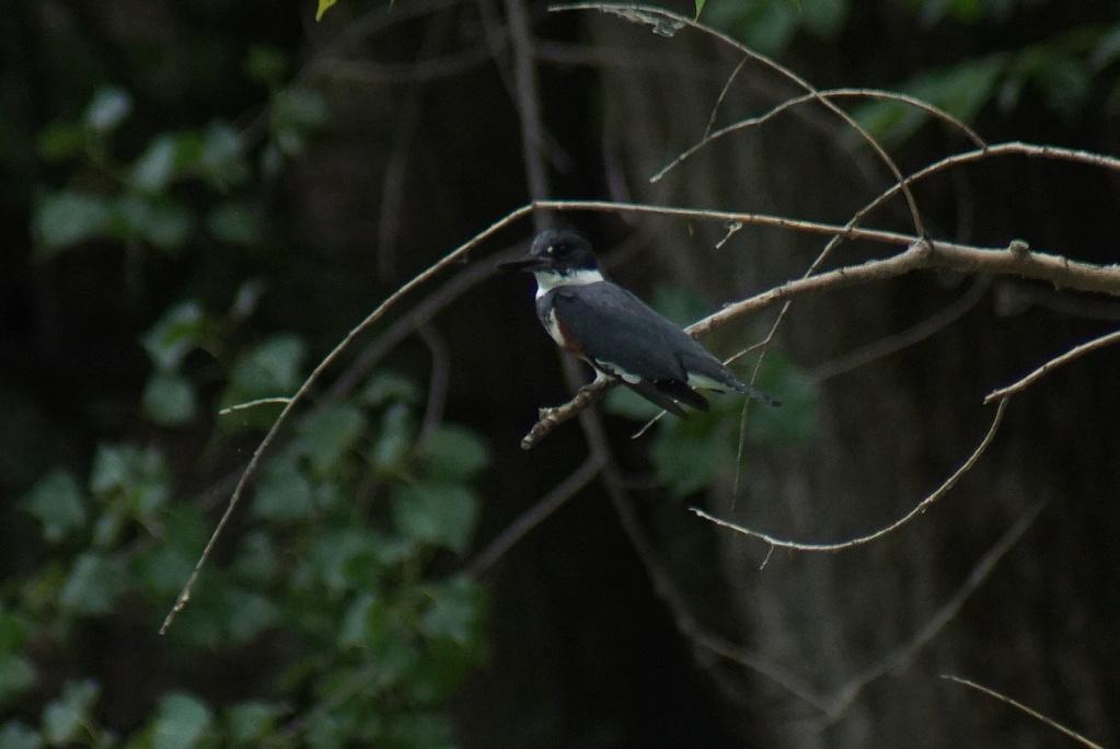 Martin-pêcheur femelle juvénile? Parc_148
