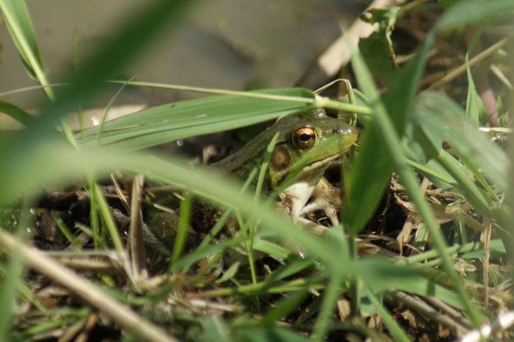 Est-ce une grenouille? Parc_d87
