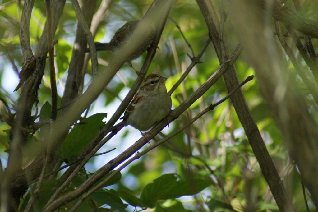 Oiseaux à identifier Parc_n52