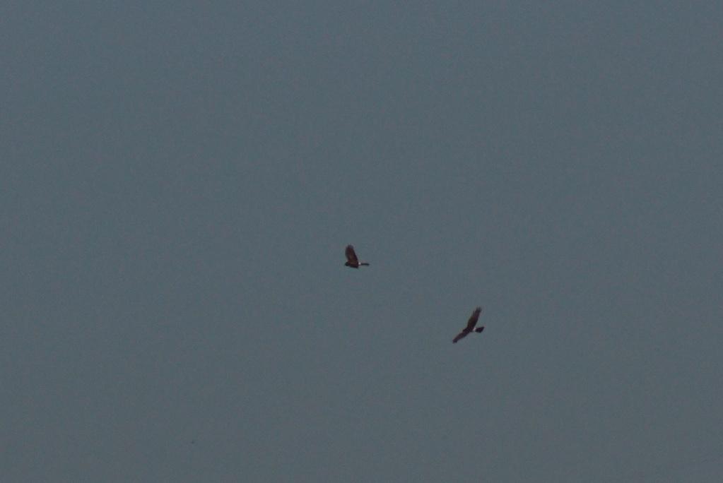 Deux rapaces à identifier... Parc_n99