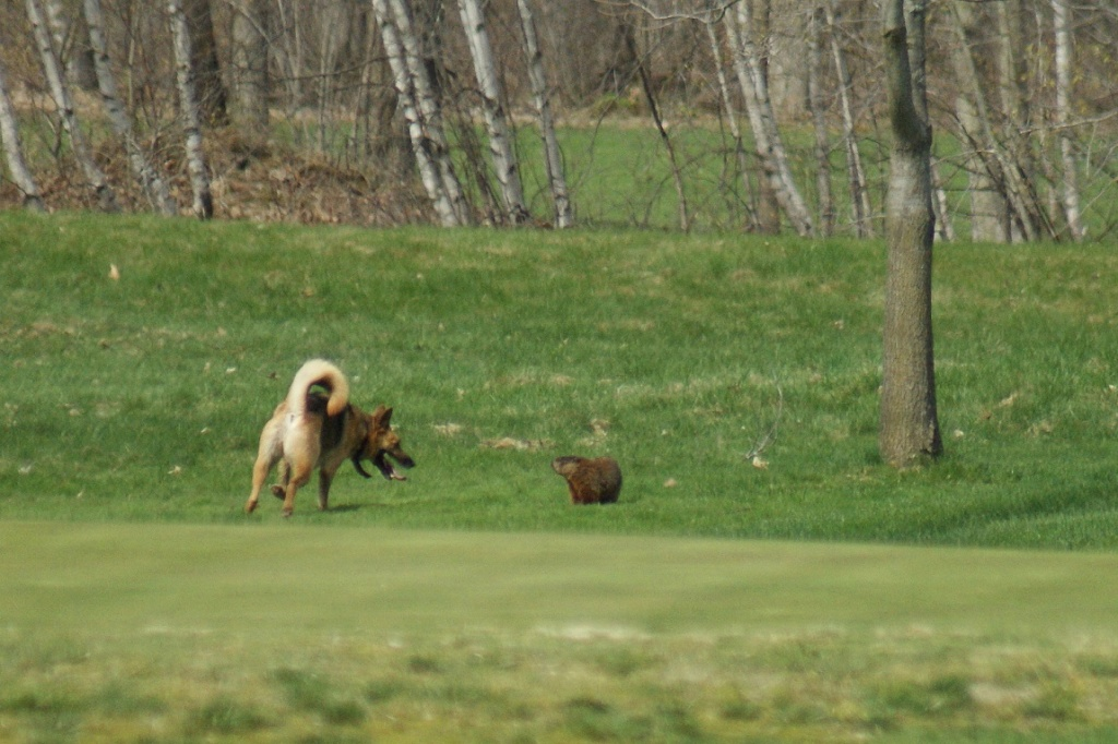 Un face à face: marmotte et chien Rougem21