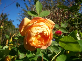 rosa 'lady of shalott' - Page 3 Photo283