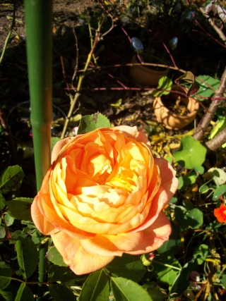 rosa 'lady of shalott' - Page 3 Photo284