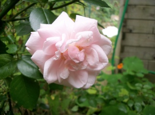 Rosa 'New Dawn' !!! - Page 5 Photo_39