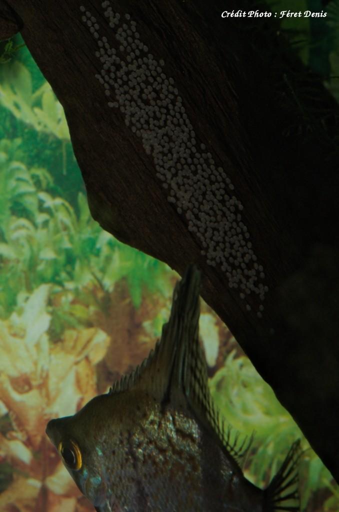 Pterophyllum scalare _k504613