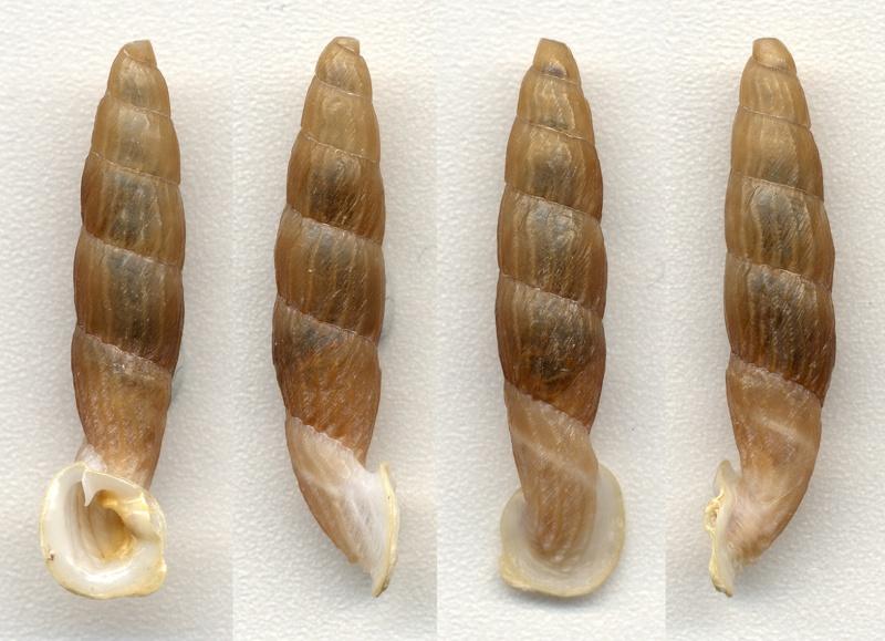 Nenia tridens (Schweigger, 1820) Nenia_10