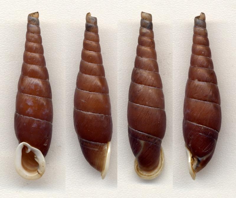 Hemiphaedusa princeps Nordsieck, 2012 Seleno10