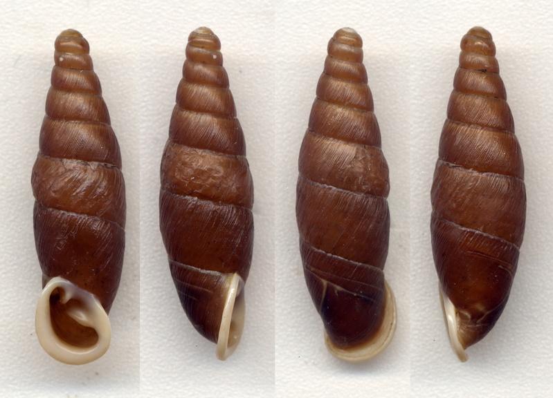 Hemiphaedusa spinifera (Nordsieck, 2005) Seleno11