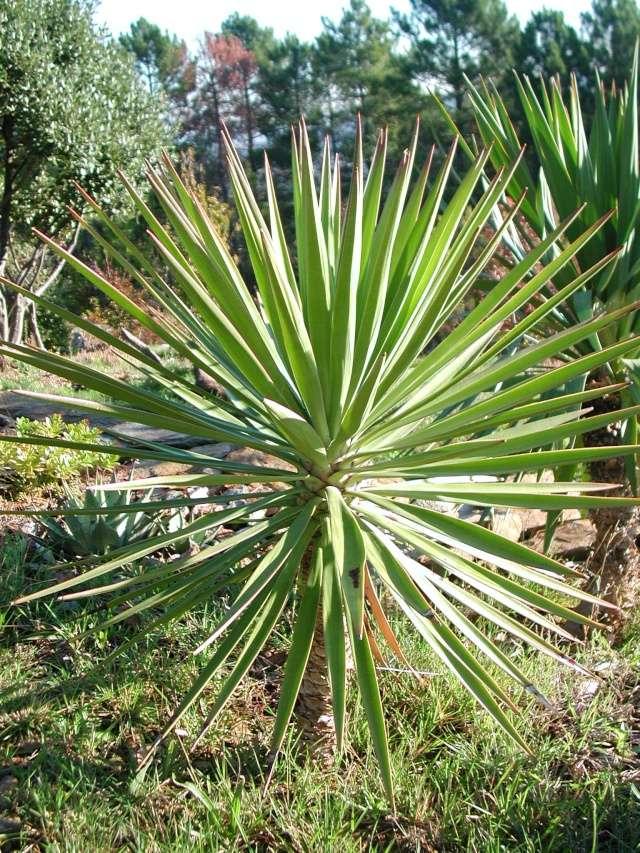 Yucca sp. [identification non terminée] Dscn5415