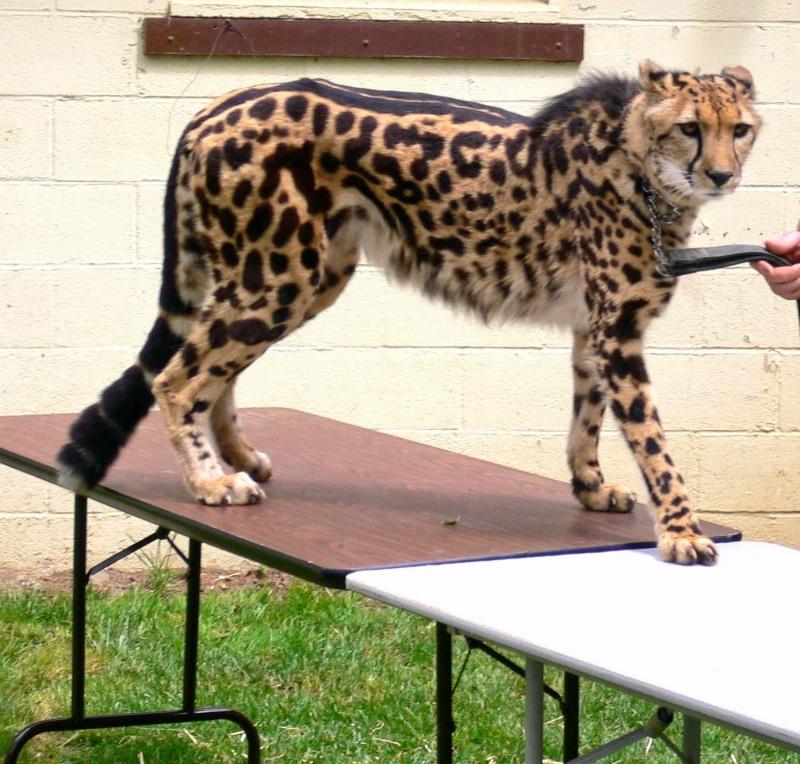 VOTE - Felino exótico mais belo (TOP 3) Guepar10