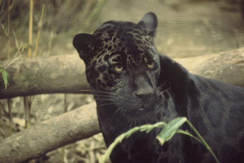 VOTE - Felino exótico mais belo (TOP 3) Jaguar10