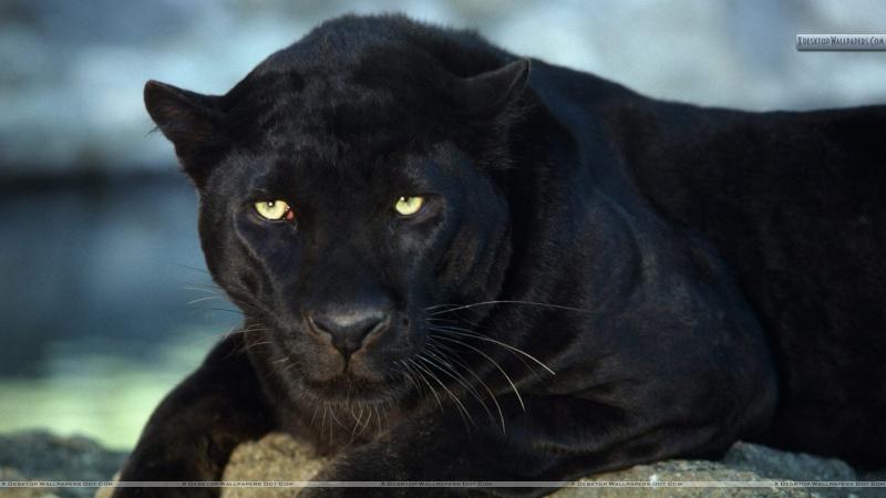 VOTE - Felino exótico mais belo (TOP 3) Leopar10