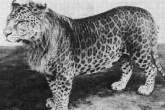 VOTE - Felino exótico mais belo (TOP 3) Leopon11