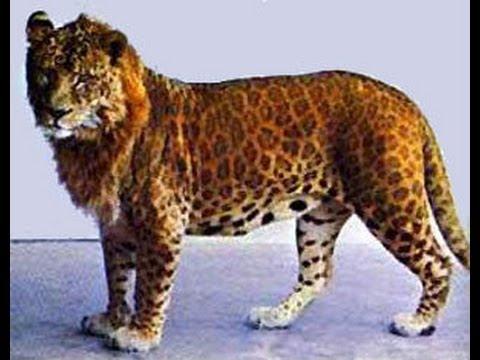 VOTE - Felino exótico mais belo (TOP 3) Leopon12