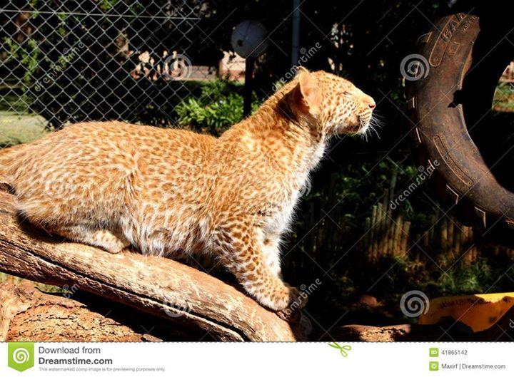 VOTE - Felino exótico mais belo (TOP 3) Red_le11