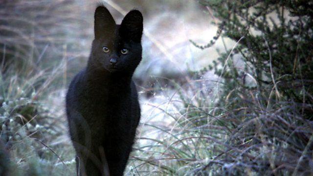 VOTE - Felino exótico mais belo (TOP 3) Serval10