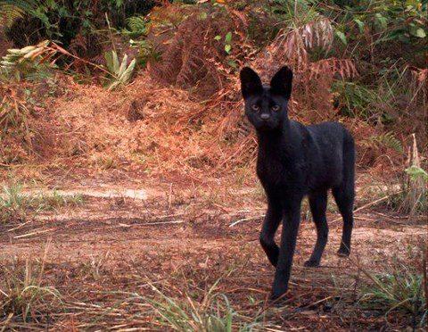 VOTE - Felino exótico mais belo (TOP 3) Serval11