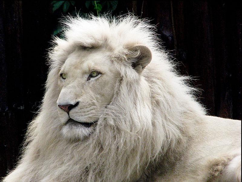 VOTE - Felino exótico mais belo (TOP 3) White-10