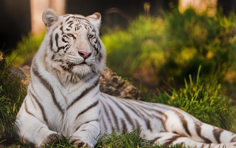 VOTE - Felino exótico mais belo (TOP 3) White-11