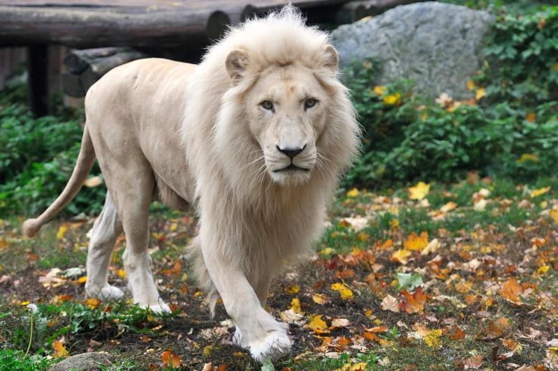 VOTE - Felino exótico mais belo (TOP 3) White_10