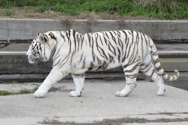 VOTE - Felino exótico mais belo (TOP 3) White_11