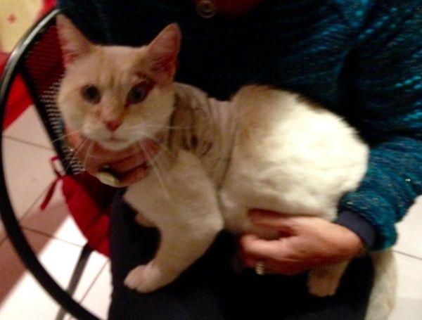 Trouvé à Plaisance du Touch chat crème red point opéré depuis peu  Imagea10