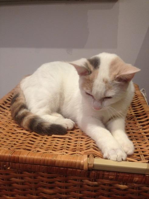 Trouvée chatte blanche beige et grise à Saint Jory Img_4310