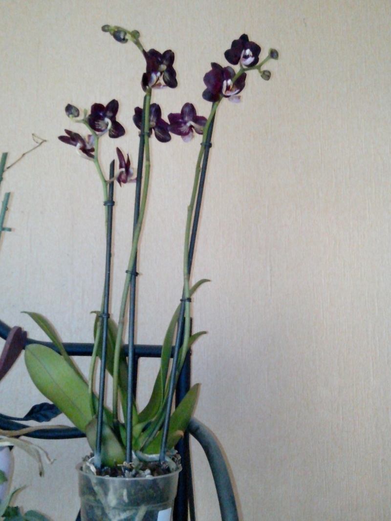 phalaenopsis : floraison.... magasin!!! [phalaenopsis kaoda Twinkle] Img_2015