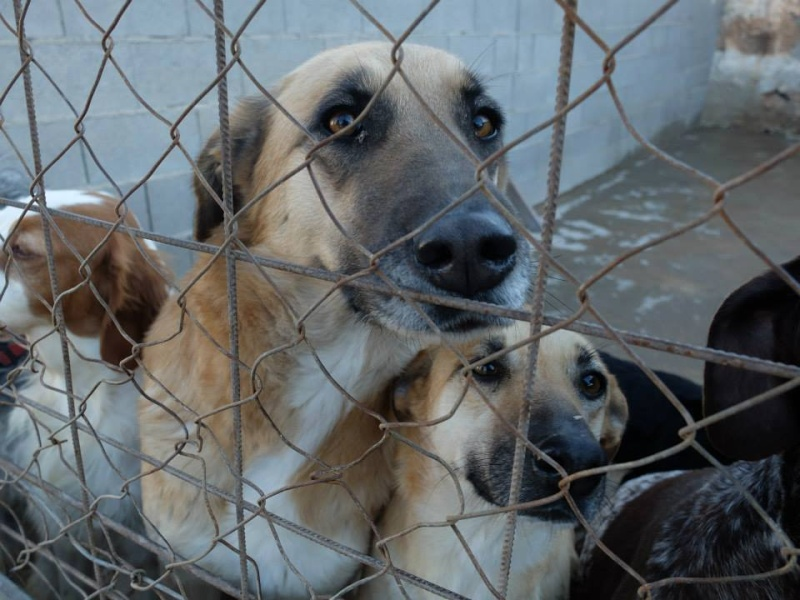 SALTARINA, croisée Mastine urgent à l'adoption Salggg10