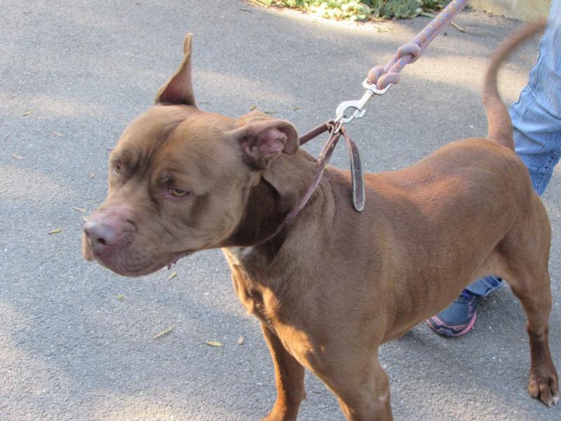 MARLEY- Staffordshire Bull Terrier =Staffie 02417